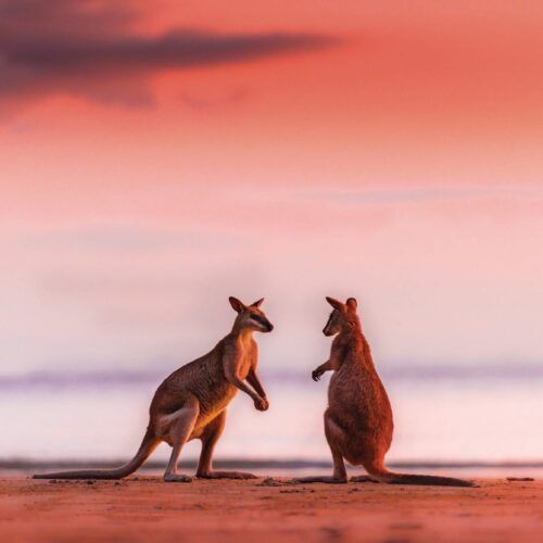 Wallabies-at-Sunrise-Cape-Hillsborough